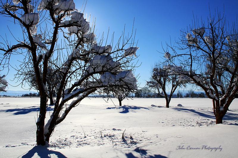 Apple tree in the snow