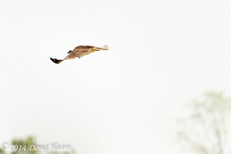 Osprey Pandion haliaetus in flight