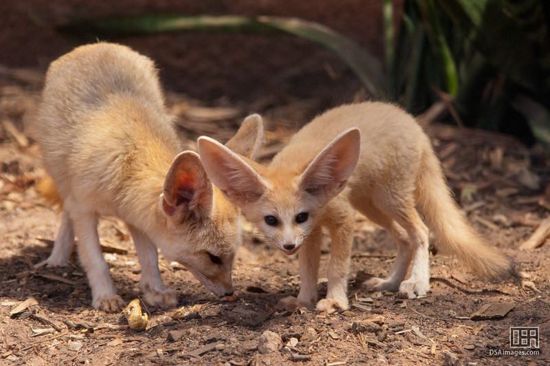 Two Fennec Fox kits (2.5 month old)