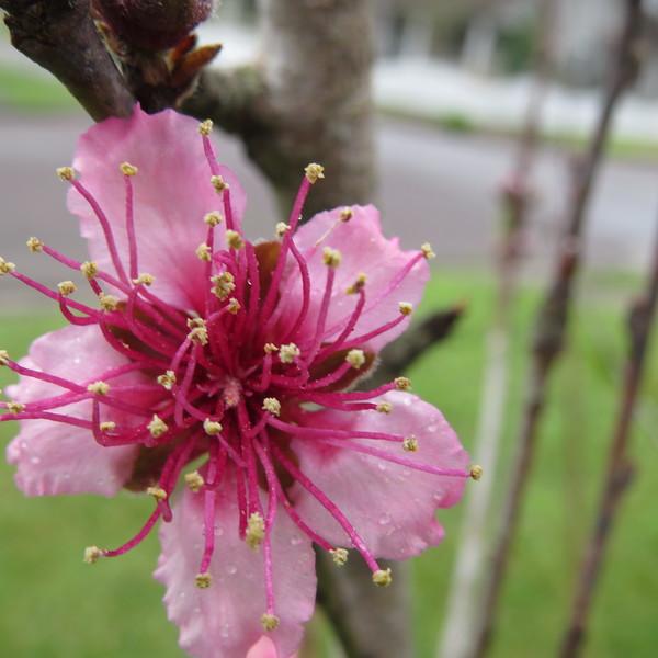 peach tree closer.JPG