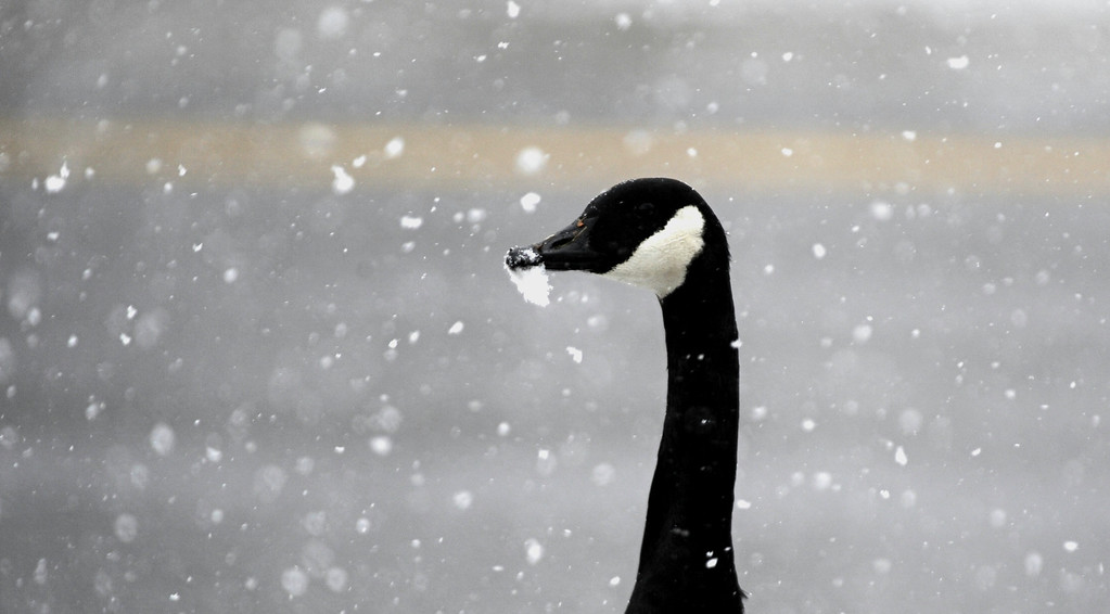 . A goose gets a beek full of snow along Louisiana Ave near Frankiln St. across from  Washington Park Saturday morning, March 9th, 2013. Andy Cross, The Denver Post