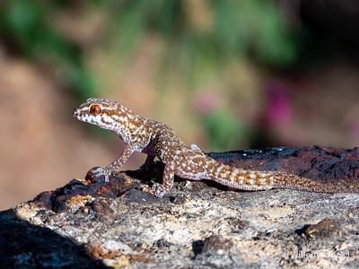 Calvinia Thick-toed Gecko (Pachydactylus labialis)