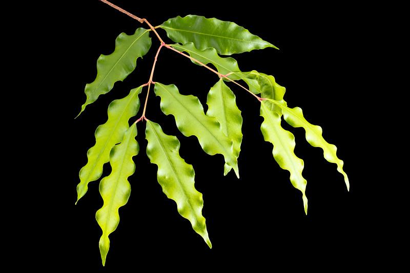 aniseed myrtle leaves 7p.jpg