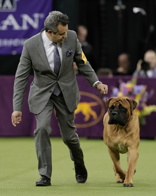 . A handler guides a mastiff around the ring during the working group competition at the 141st Westminster Kennel Club Dog Show, Tuesday, Feb. 14, 2017, in New York. (AP Photo/Julie Jacobson)