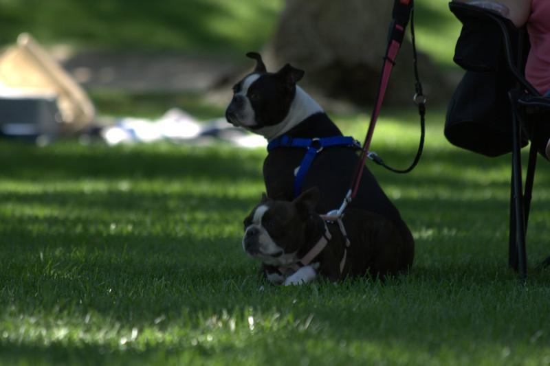 boston terrier oct 2010 179.jpg