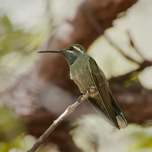 Bluethroated Hummingbird
