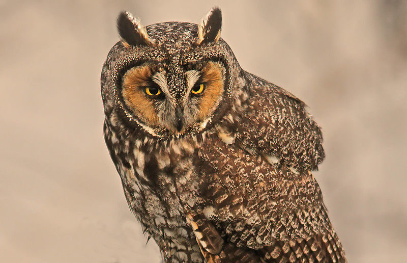wiselongearedowl1600neated.jpg