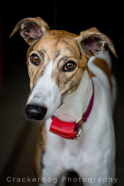 Our Greyhounds
