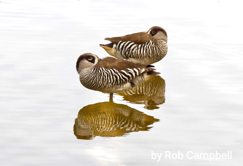 Pink-eared Ducks. Lake Claremont, Western Australia.