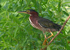 Green Heron IMG_1306 5x7