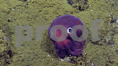 undersea-surprise-bigeyed-squid-looks-more-toy-than-animal