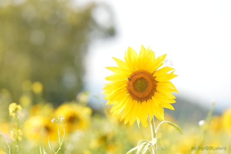 Sunflower Lonay_20092020 (19).JPG
