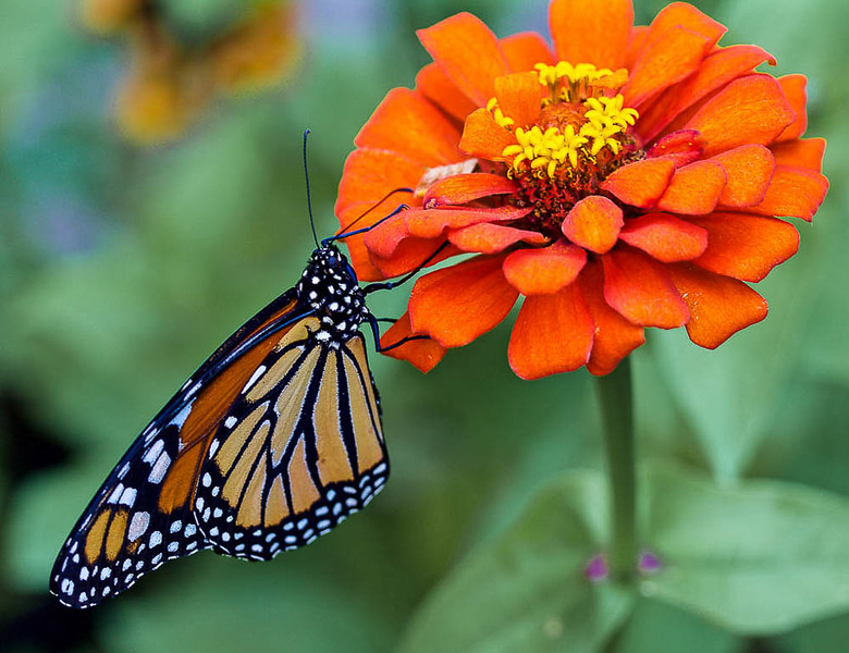 Monarch Butterfly_Pat Hoffman.jpg