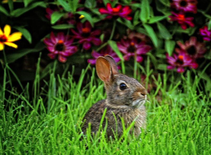 044 Baby rabbit in my back yard jpg.jpg