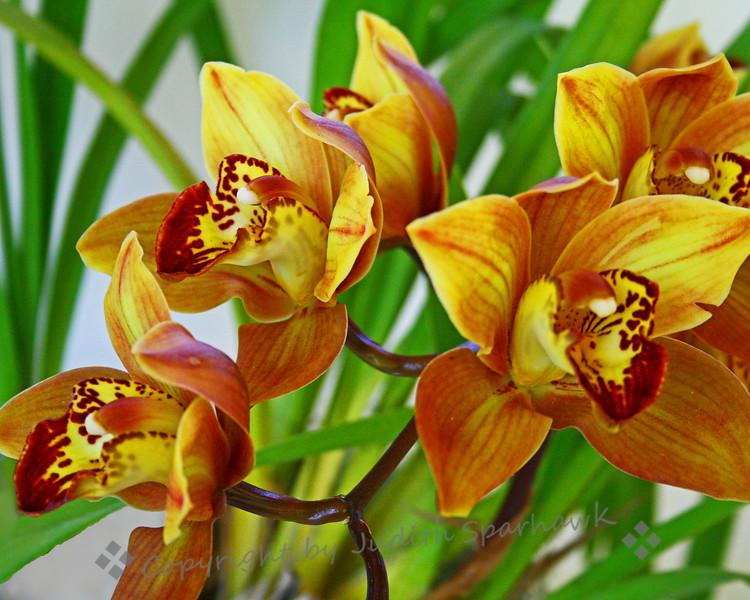 Orchid Sunshine.jpg