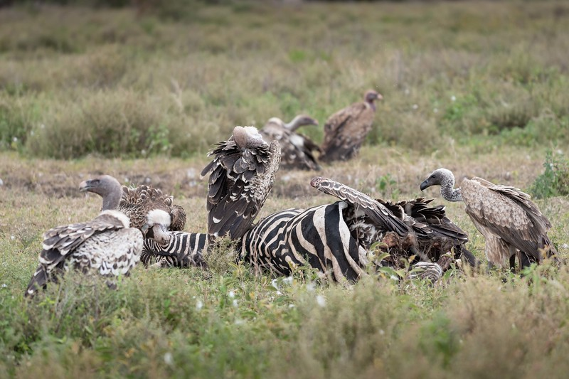 Rüppell's Griffon and White-backed Vulture at zebra carcass