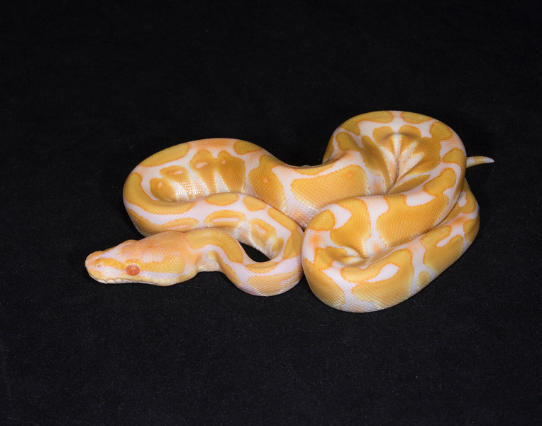 105FA, female Albino, $225