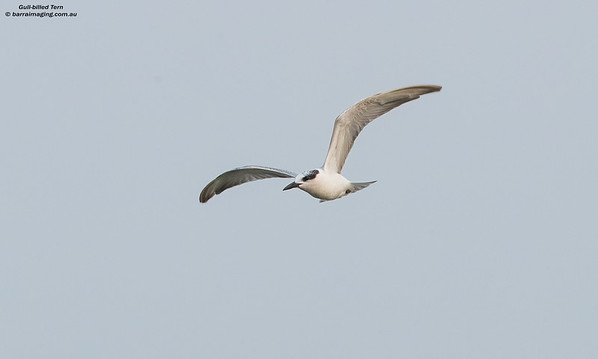 Gulls , Terns and Skimmers