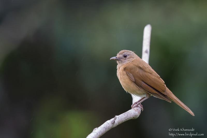 Cocoa Thrush - Asa Wright Nature Center, Trinidad