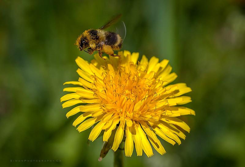Dandybee2.jpg