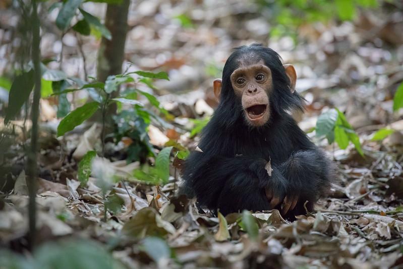 African_Apes_0218_PSokol-862.jpg