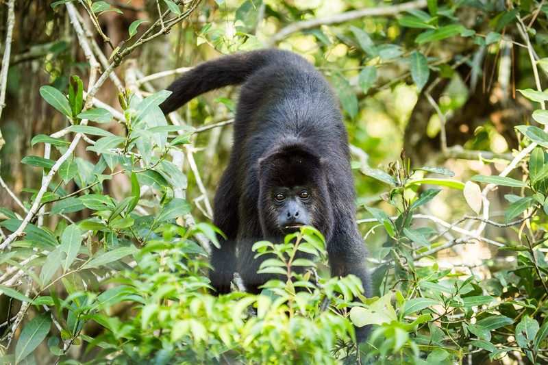 Black Howler Monkey (Alouatta caraya) Belize.