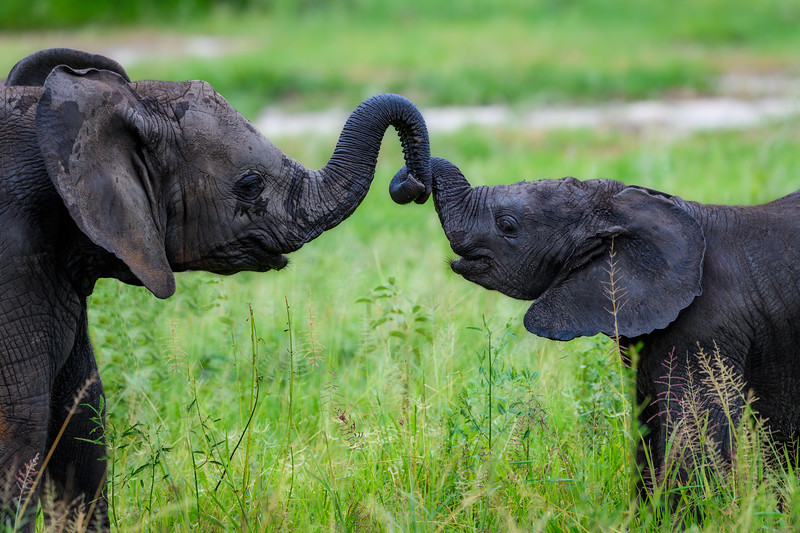 Baby Elephants holding trunks-Edit.jpg