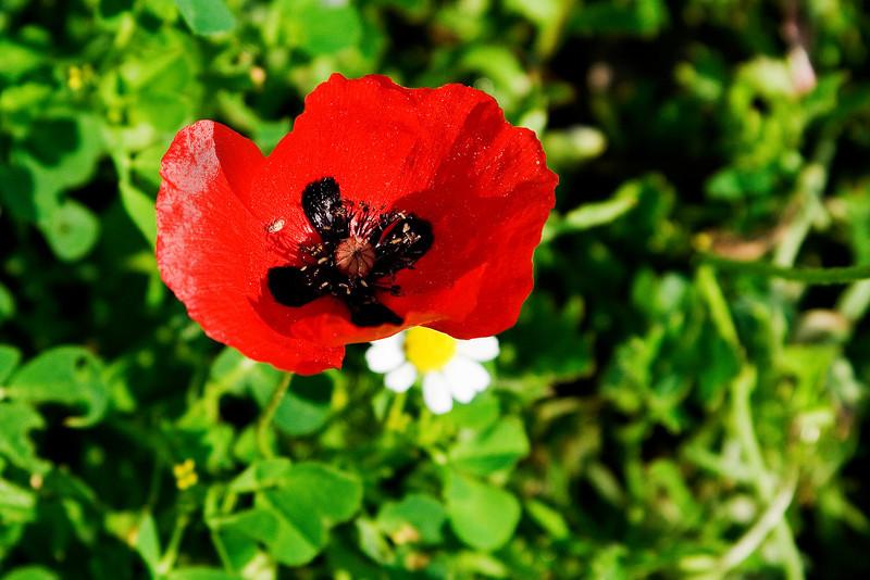 Greek Poppy.jpg