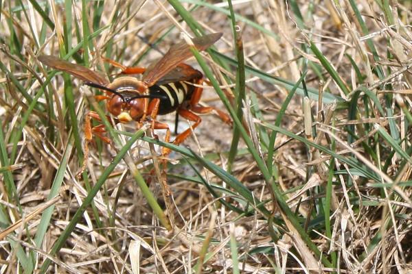 Cicada Killers - 2007