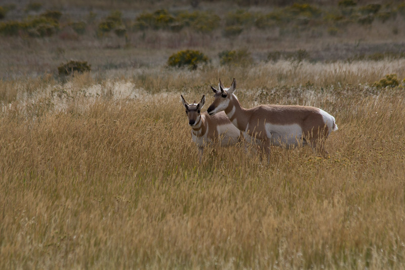 Catherine Pao_Young Pronghorn_Fauna.jpg