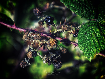Decaying blackberries