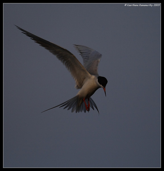 Forster's Tern in golden light, Tijuana River Estuary, San Diego County, California, May 2009
