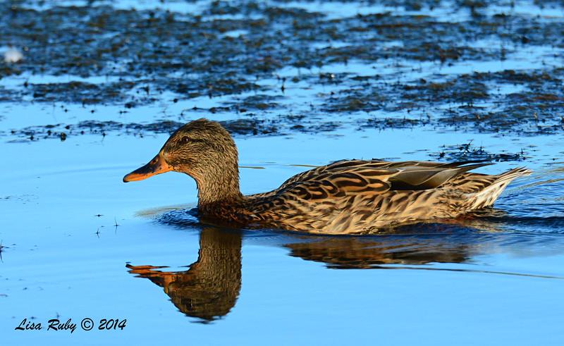 Female Mallard - 10/12/2014 - Lake Cuyamaca