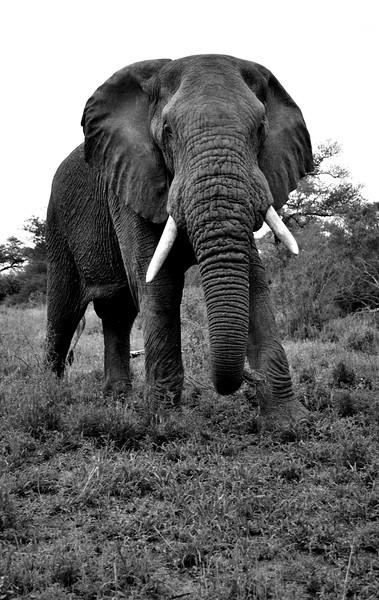 elephants BW (1).jpg