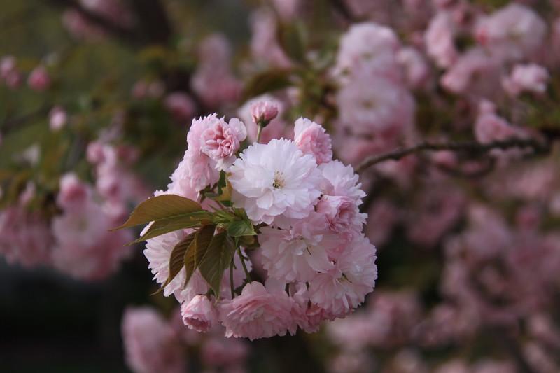 130414_IMG_1546_6321_Blossoms.JPG