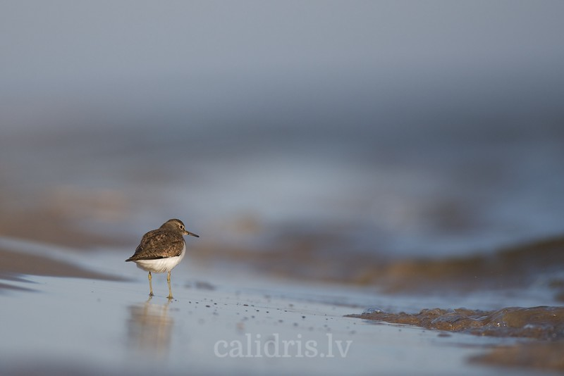 Common sandpipper on beach