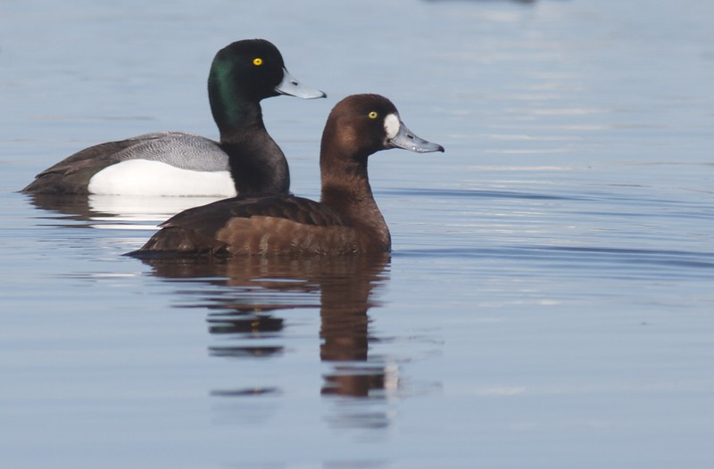 Greater Scaup Park Pt bayside Duluth MN IMG_9012.jpg