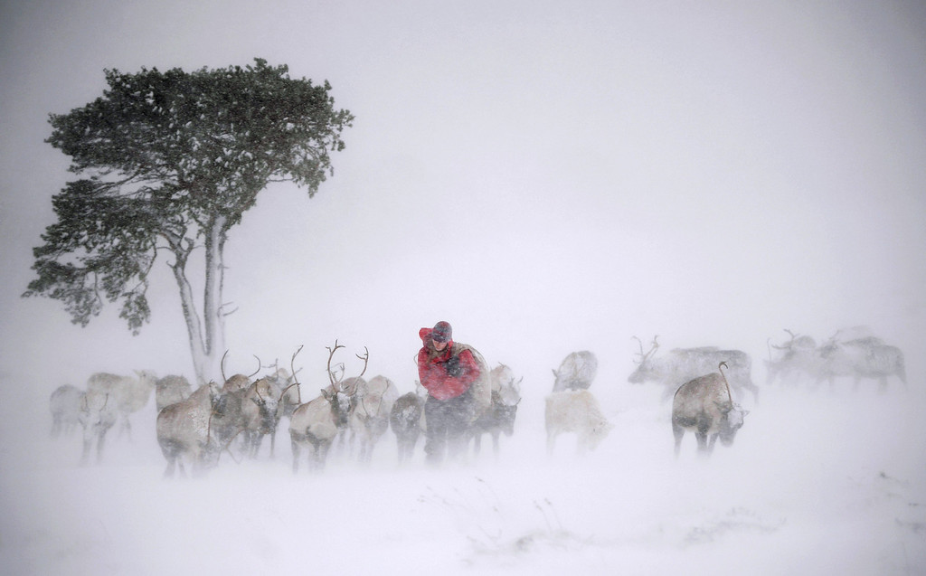 . Eve Grayson, a Reindeer herder of the Cairngorm Reindeer Herd, feeds the deer on December 23, 2013 in Aviemore, Scotland. (Photo by Jeff J Mitchell/Getty Images)