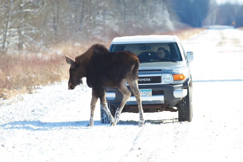 Moose cow November 19 CR47 Sax-Zim Bog MN IMG_9929.jpg