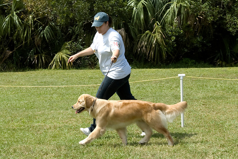 Golden Retriever shows off its extended side gait during Conformation competition.