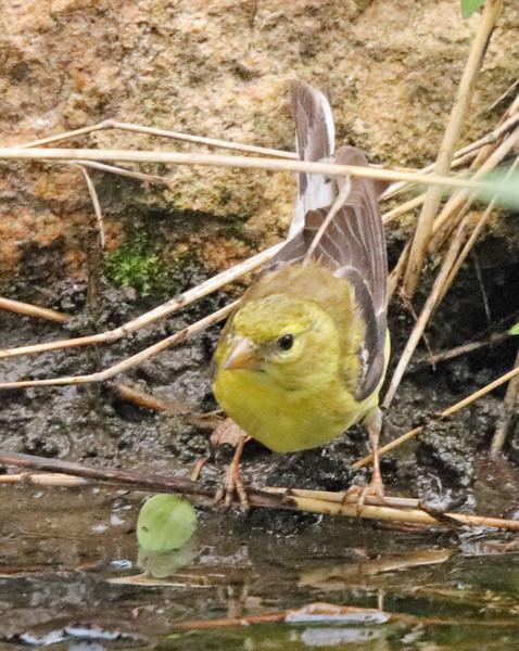 Female goldfinch 32