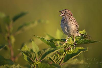 Sparrows, Towhees