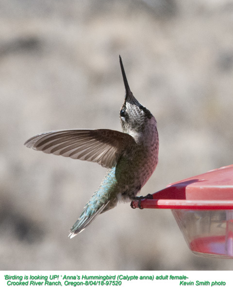 Anna's Hummingbird F97520.jpg