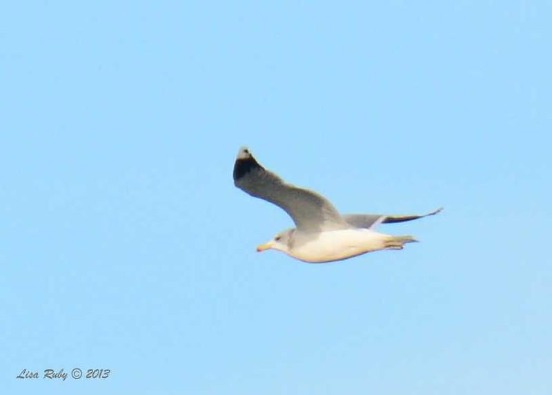 California Gull - La Jolla Cove - 12/1/13