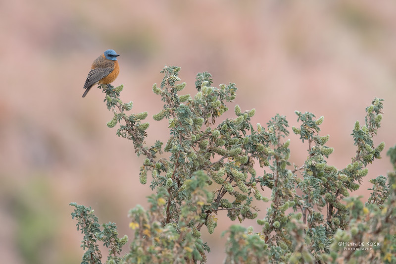 Cape Rock Thrush, Goldengate NP, FS, SA, Oct 2016-1.jpg