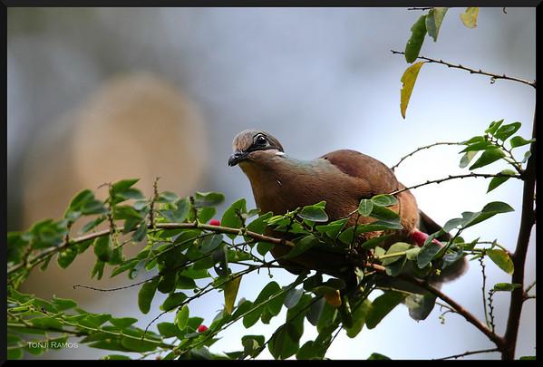 White Eared Brown Dove