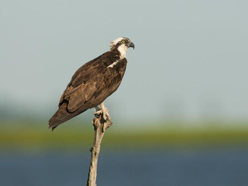 osprey female perching in a snag.jpg