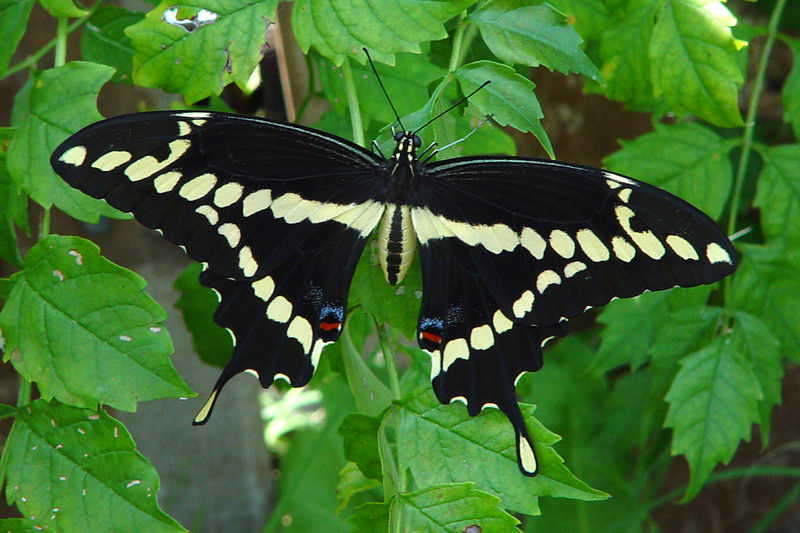 Giant Swallowtail (Papilio cresphontes). TX: Tarrant Co. (Duhons' Fort Worth yard), 20 September 2007.