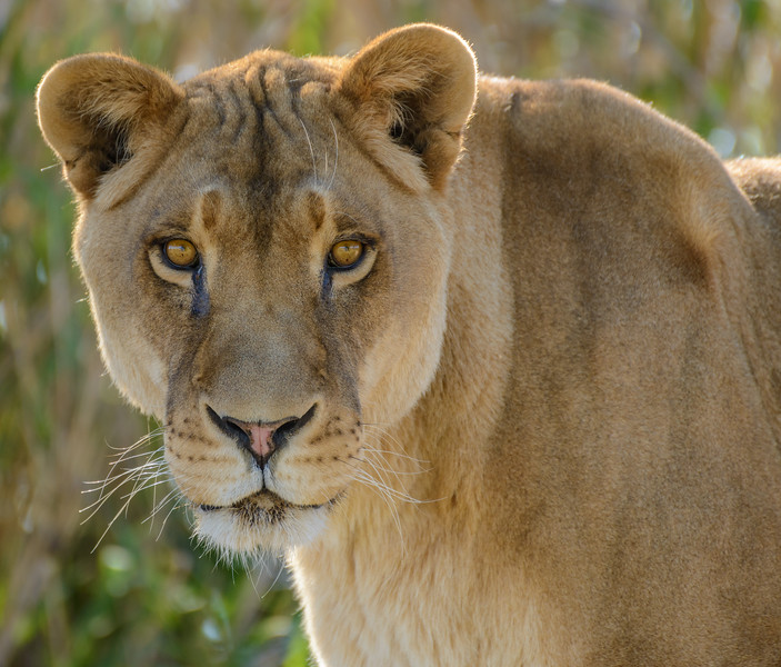 Lioness at Out of Africa Wildlife Park, Arizona