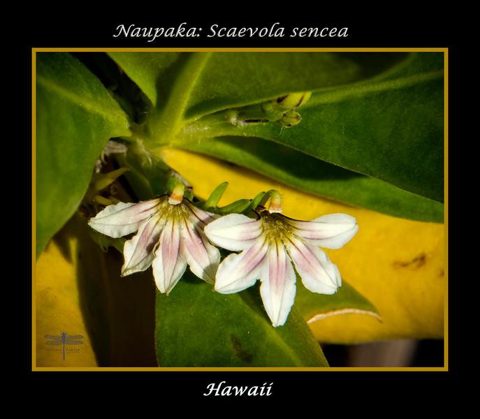Naupaka_Flower_Hawaii_664A9105.jpg